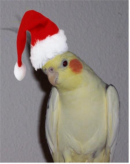 Cockatiel with Santa hat